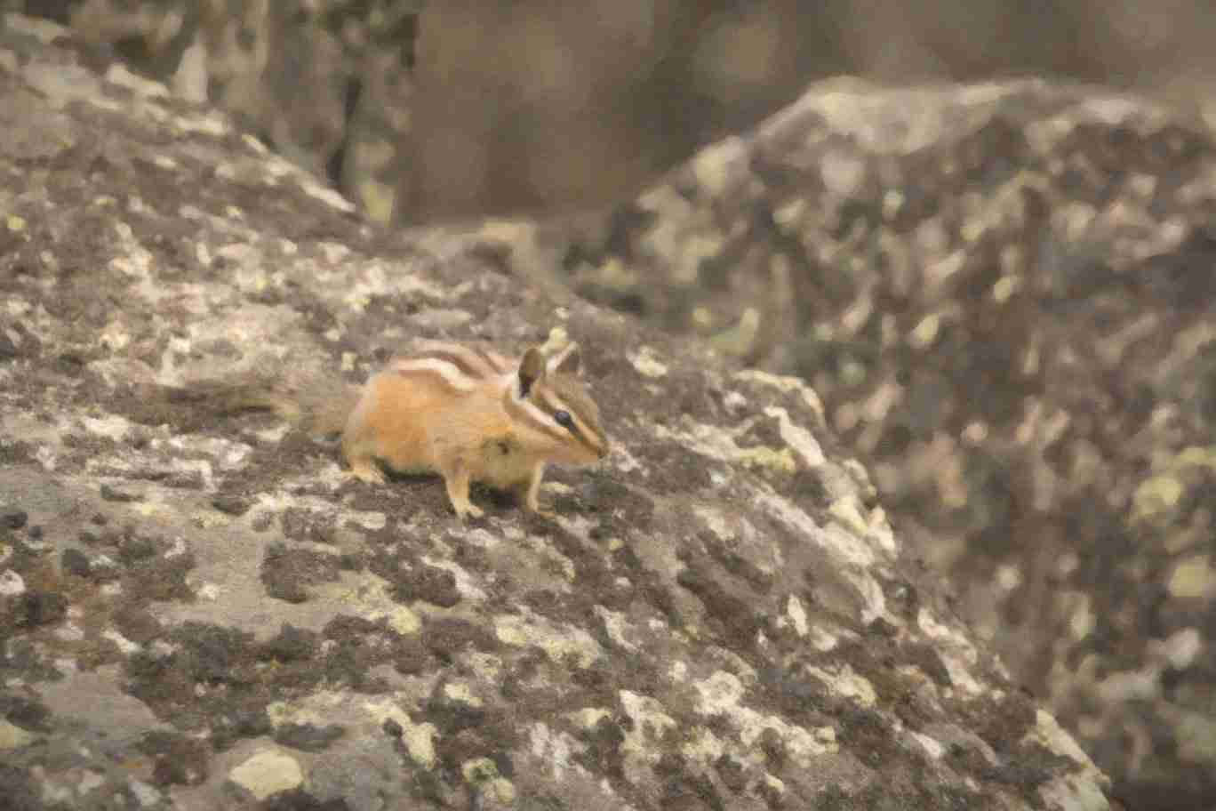 Print of a Chipmunk on a Rock