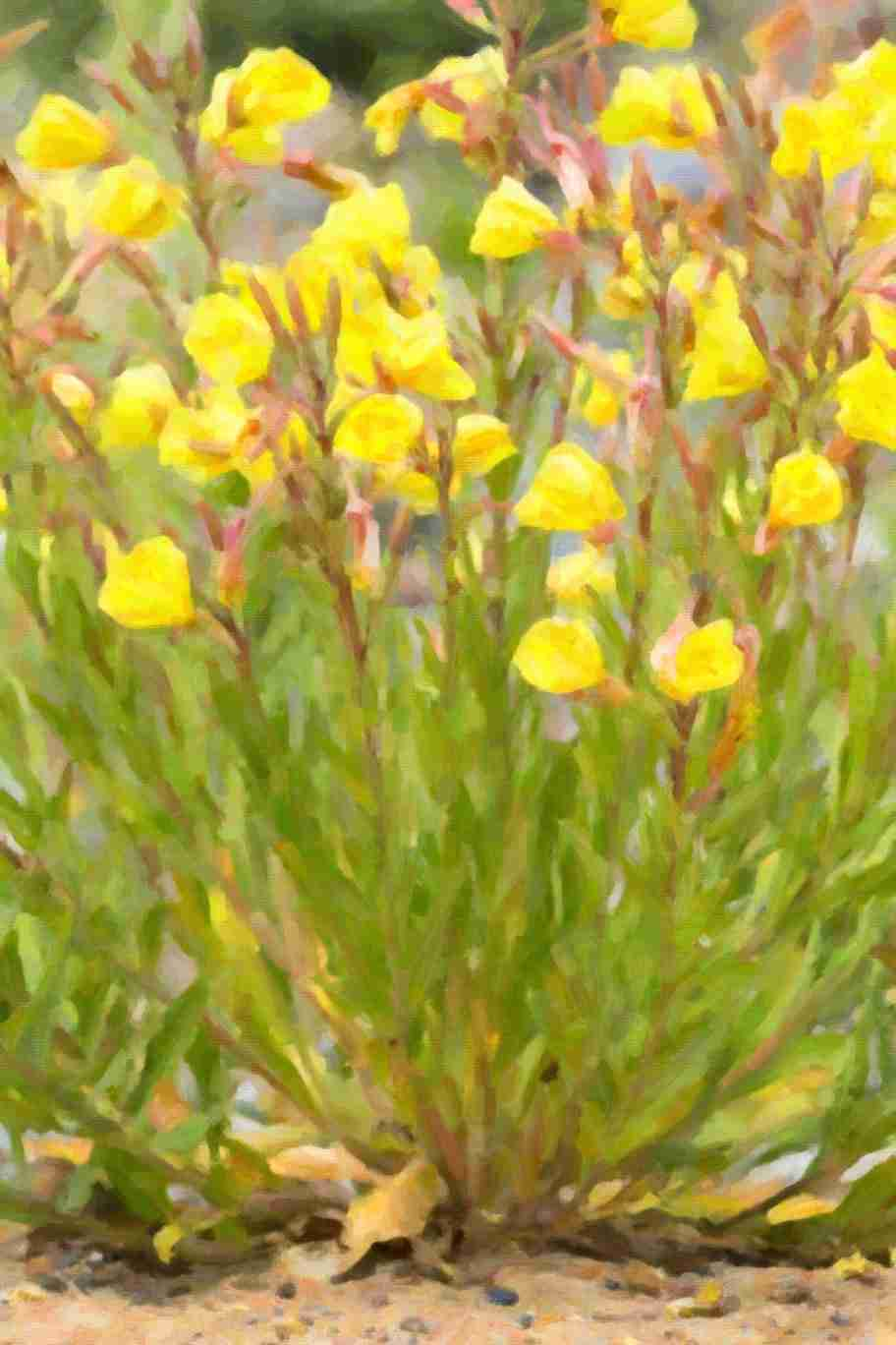 Print of Yellow Wildflowers Growing in the Sand