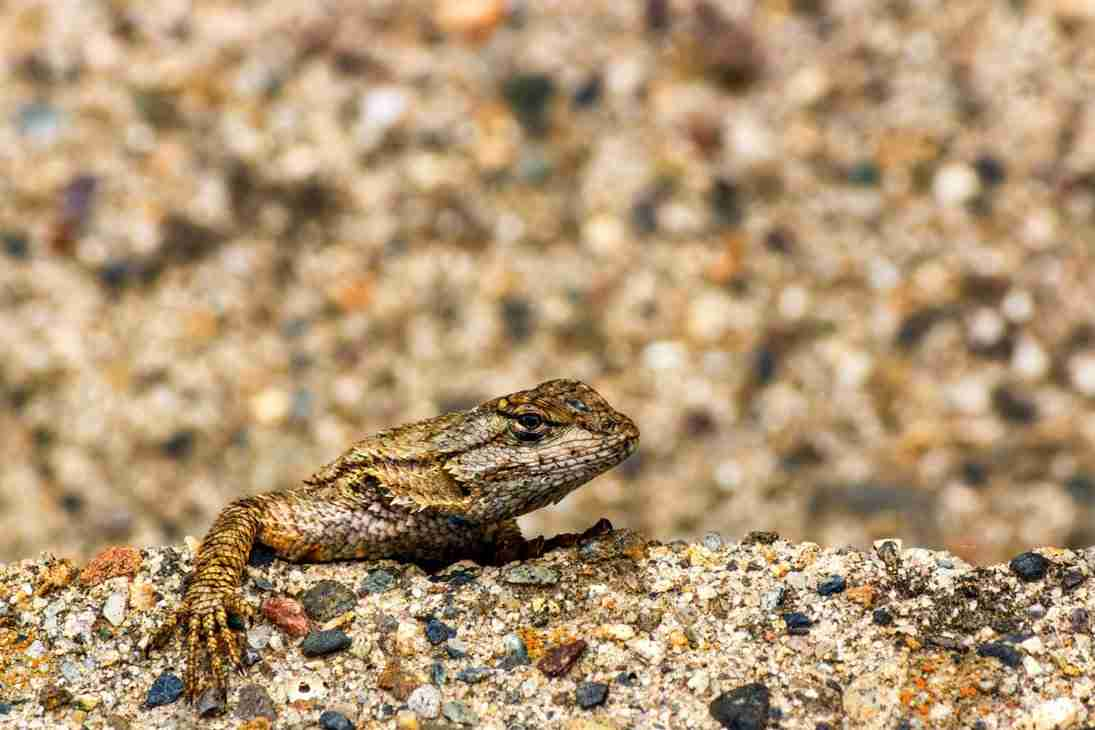 Print of a Camouflaged Lizard at Trabuco Canyon Photo