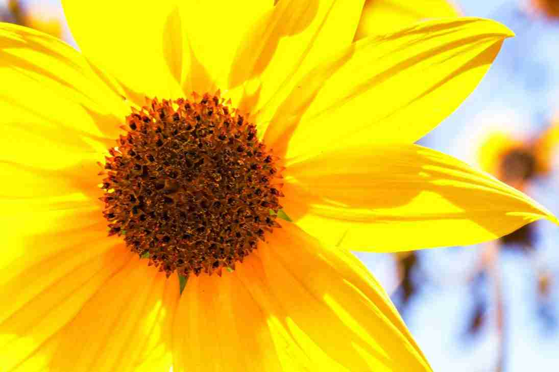 Print of a Close-Up of a Yellow Wild Flower during Summer at Oak Glen Photo