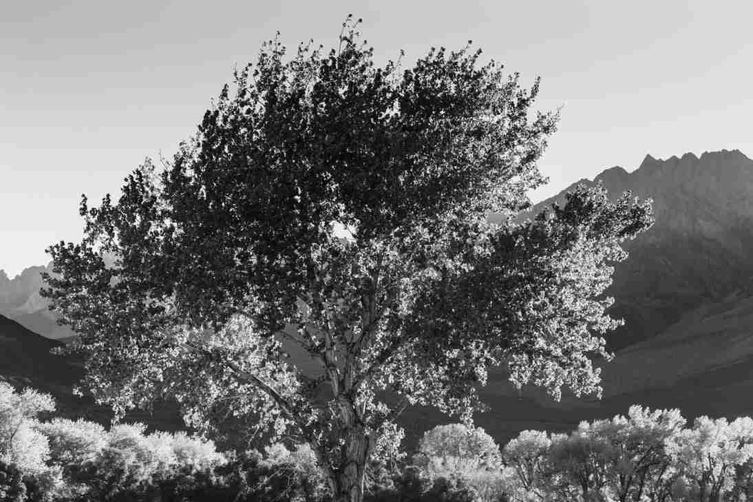 Print of Tree During Fall Near Bishop California Photo