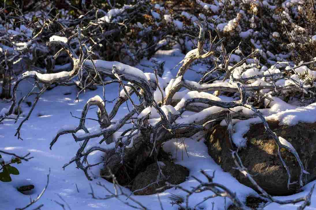 Print of a Snow Covered Shrub near Reno Photo