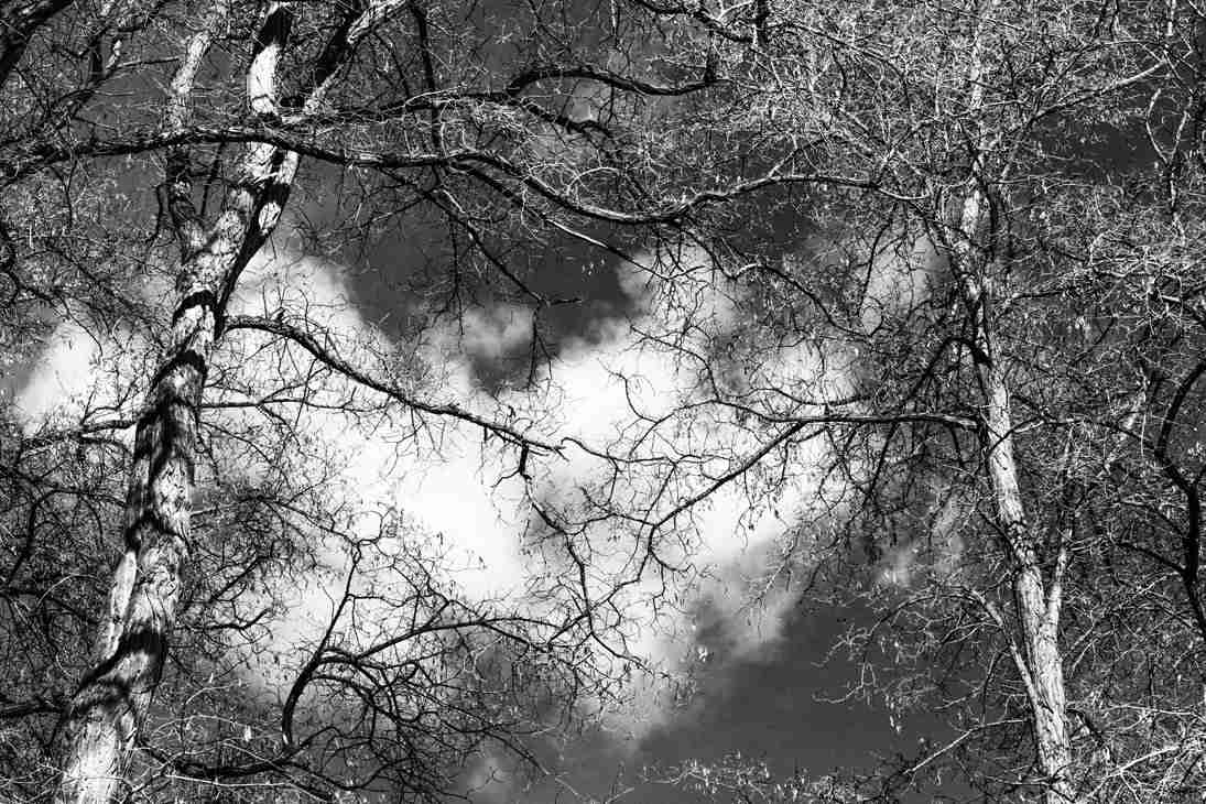 Print of Birch Trees against a White Cloud in Gardnerville Photo
