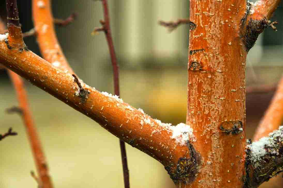 Print of Snow Kissed Tree with Reddish Bark Photo