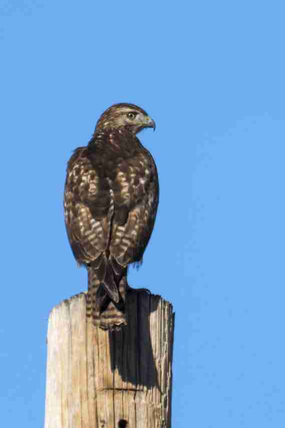 Print of a Young Red-Tailed Hawk on a Power Pole Photo