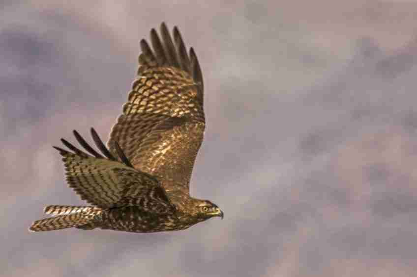 Photograph of a Young Red-Tailed Hawk Flying