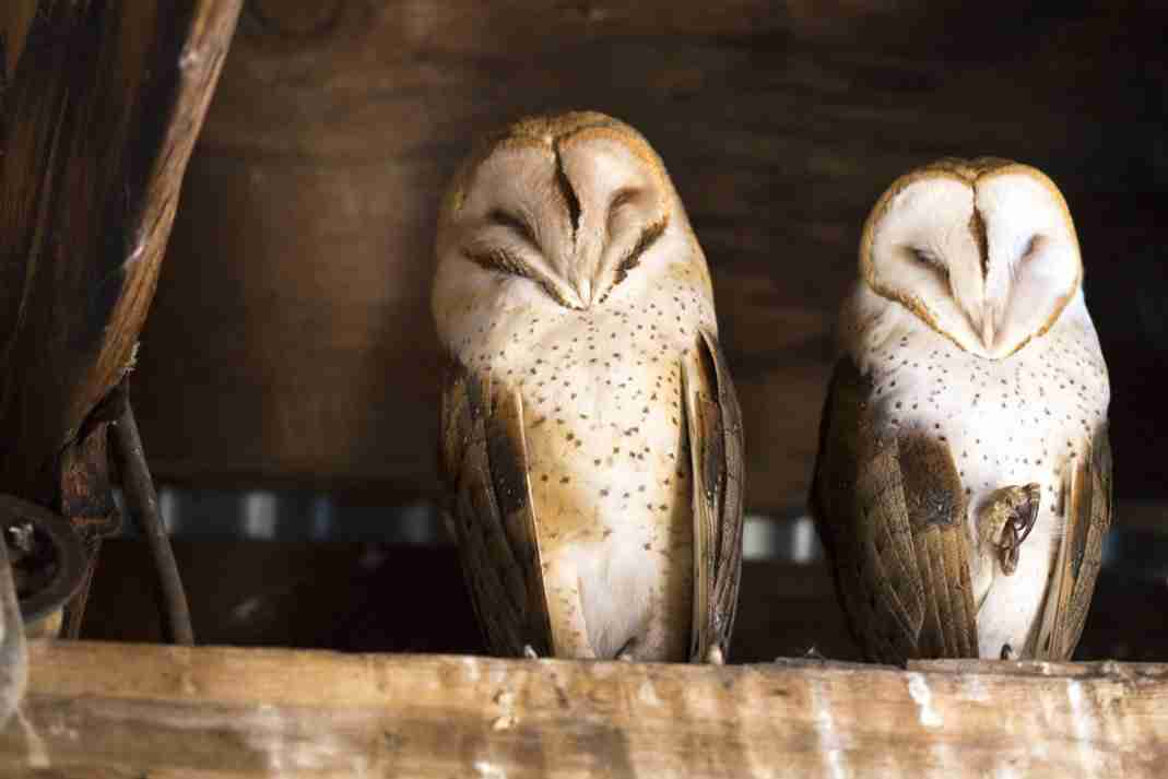 Photograph of Male and Female Barn Owls Sleeping
