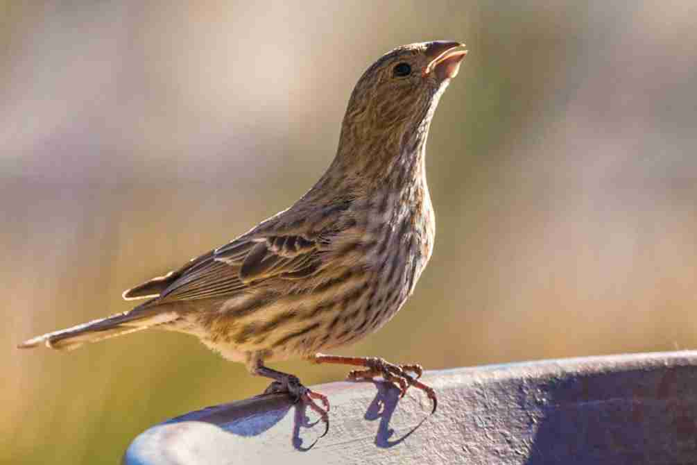 Print of a Female House Finch Drinking Photo