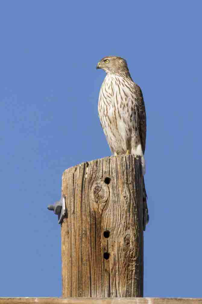 Photograph of a Juvenile Red-Tailed Hawk