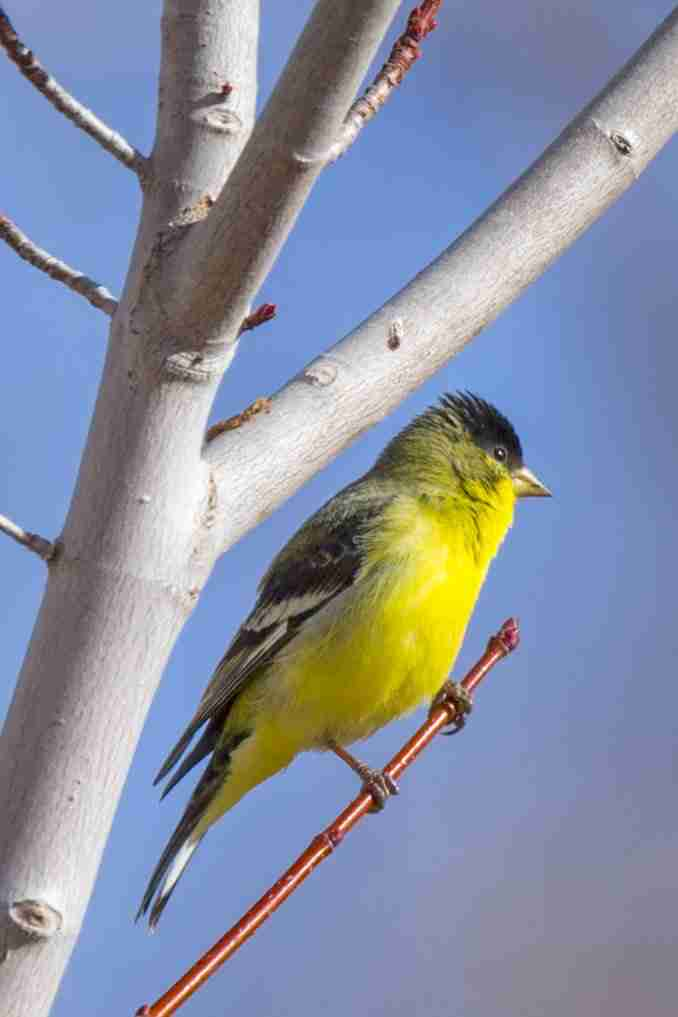 Print of a Yellow Lesser Goldfinch Bird Photo