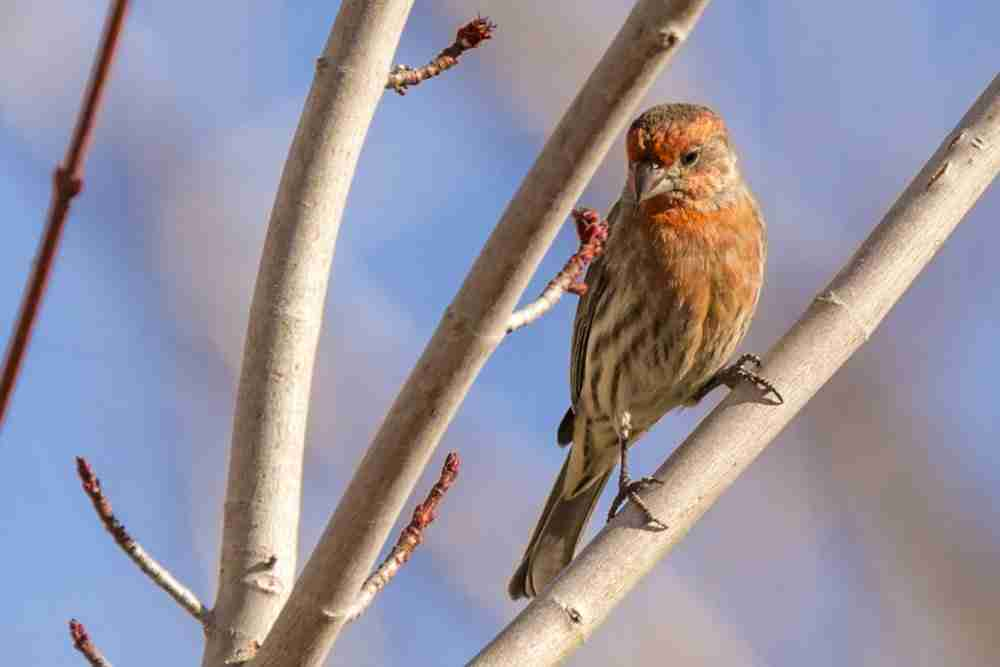 Photograph of Male Finch Looking Down