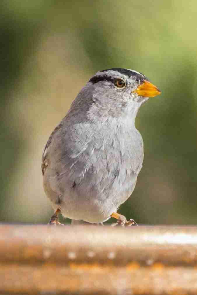 Print of a Harris's Sparrow Bird Photo