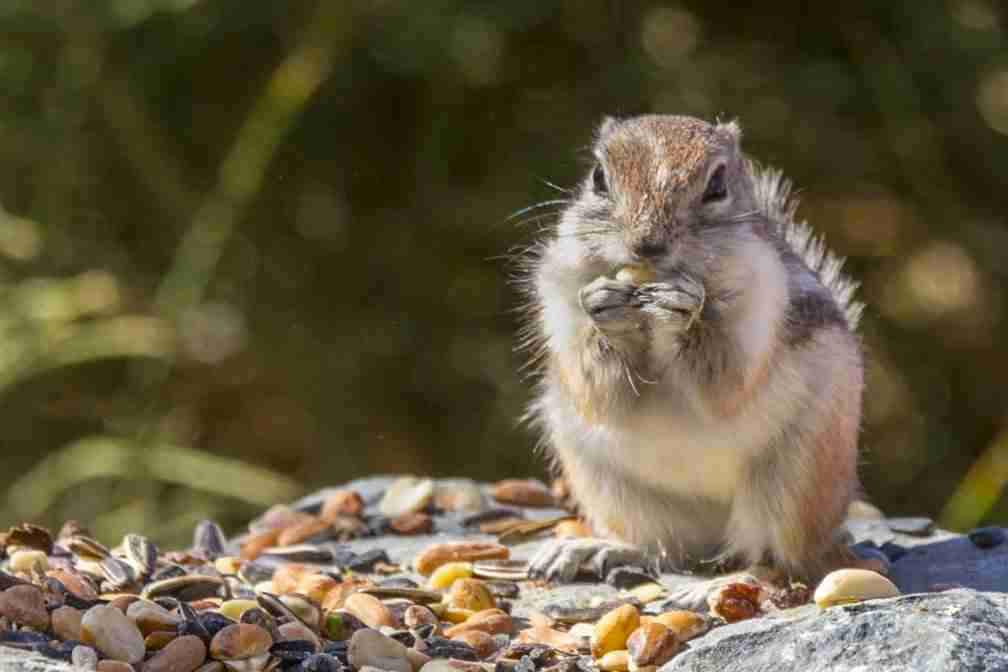 Print of a Chipmunk Feasting on Seeds Photo