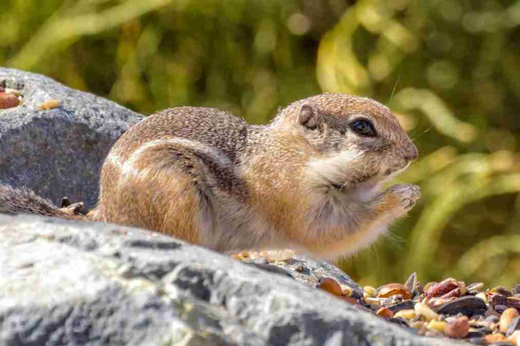 Print of a Brown Chipmunk Eating a Seed Photo