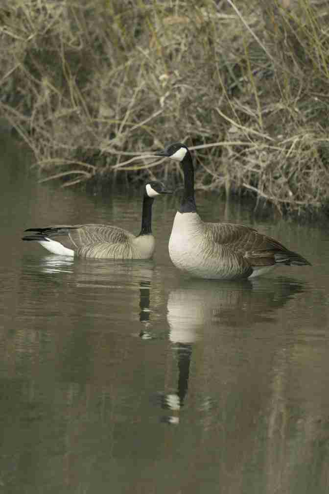 Print of a Pair of Canadian Geese Photo