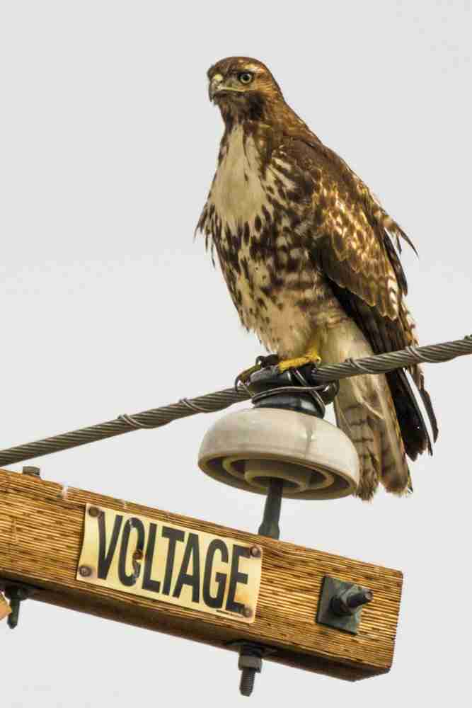 Photograph of a Red-Tailed Hawk Standing on a High-Voltage Wire