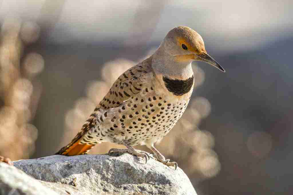 Print of a Northern Flicker Bird Photo