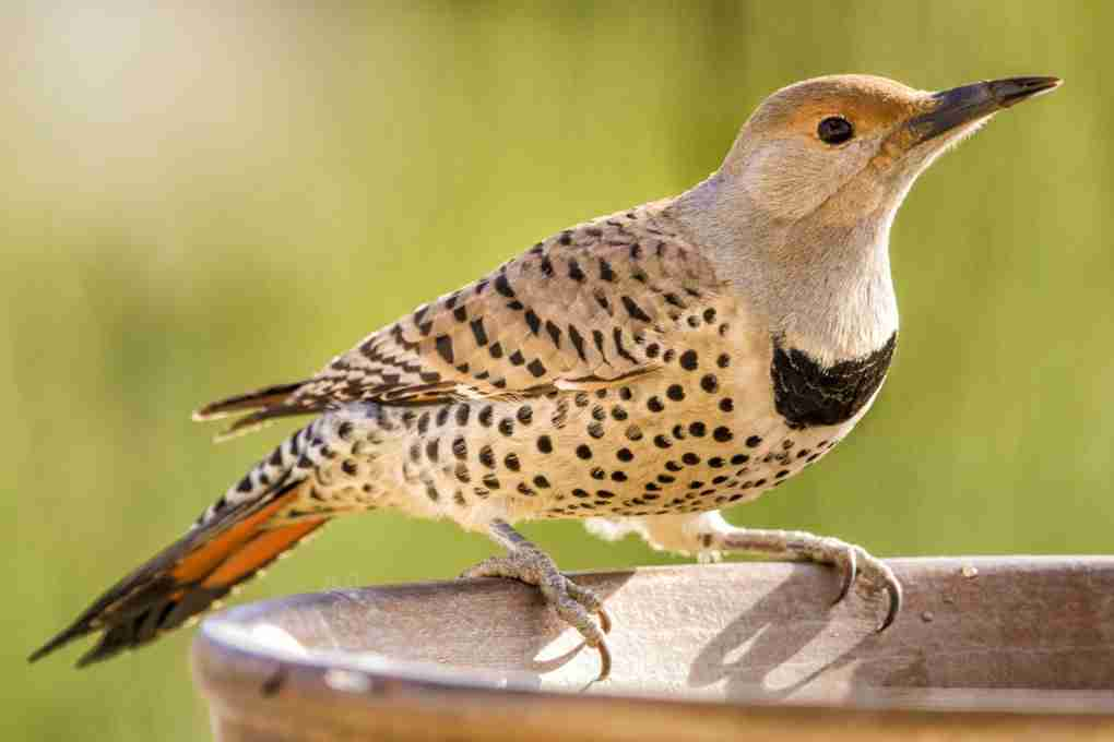 Print of a Northern Flicker Bird Drinking Photo