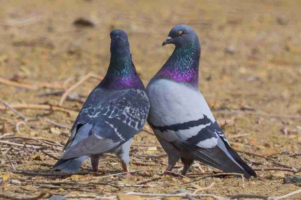Print of a Pair of Pigeons Loving Each Other Photo
