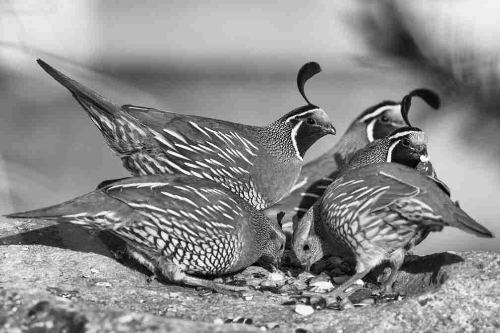 Print of California Quails in a Feeding Frenzy Photo