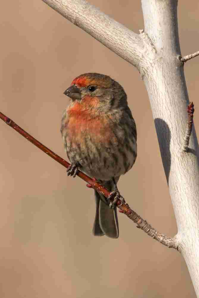 Photograph of Red Faced Male Finch