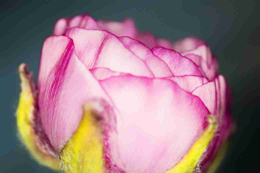 Photo of a Pink Ranunculus Flower