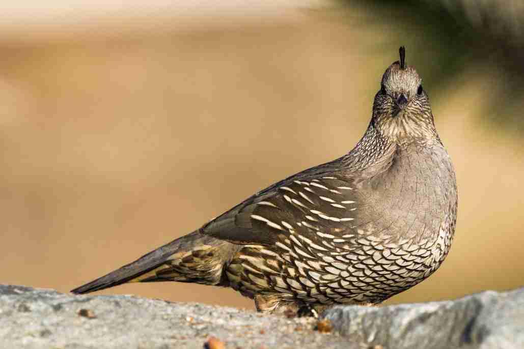 Photo of a Female California Quail