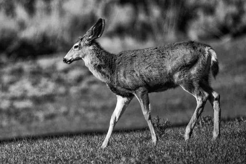 Photo of Deer in Genoa Nevada