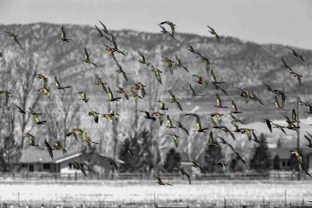 Print of a Flock of White-Faced Ibis Photo