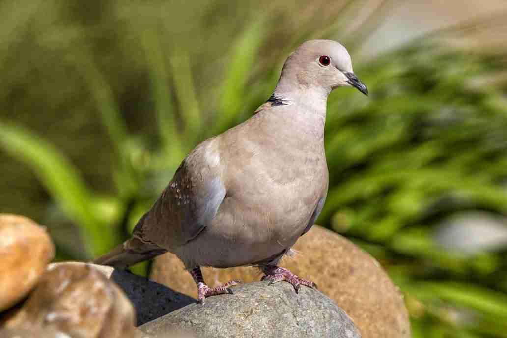 Photo of a Eurasian Collared Dove
