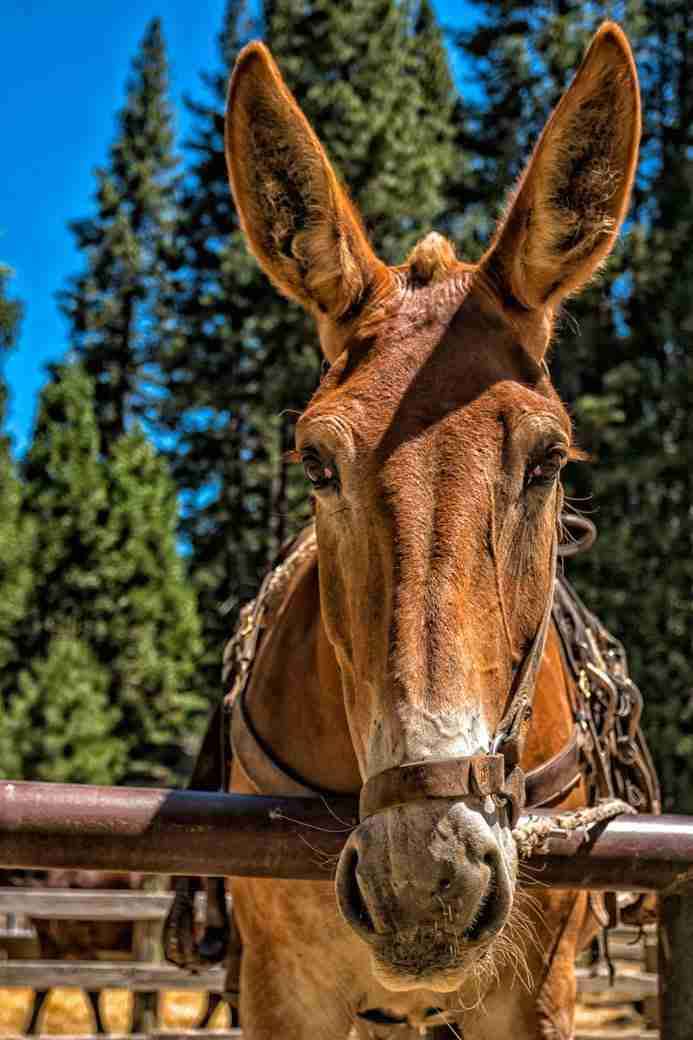 Photo of a Mule in Yosemite California