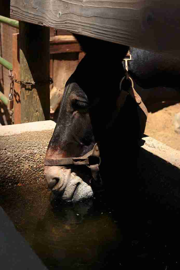 Photo of a Mule Drinking Water in Yosemite