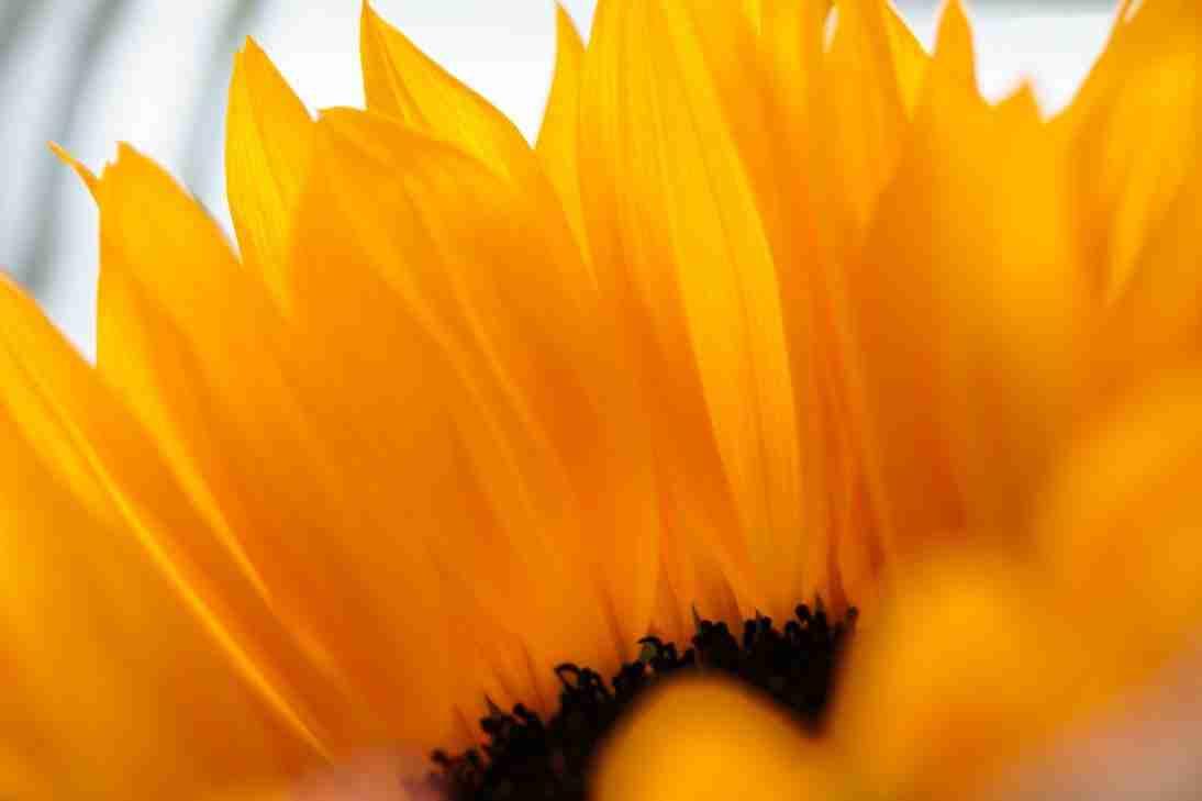 Print of a Sunflower
