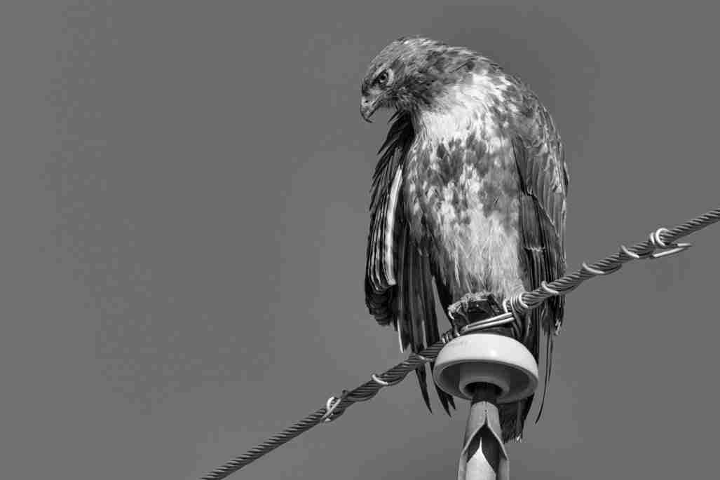 Black & White Print of a Red-Tailed Hawk on a Power Line
