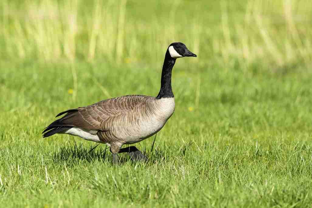 Print of a Canadian Goose Walking on the Grass