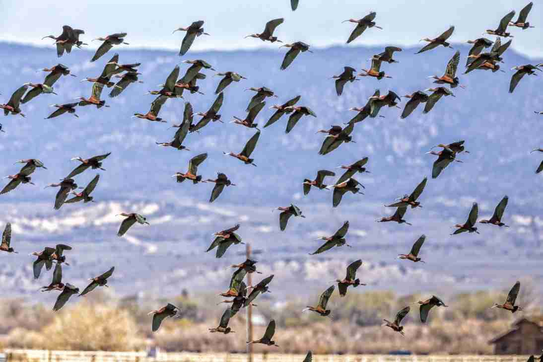 Print of a Flock of White Faced Ibis Birds in Flight