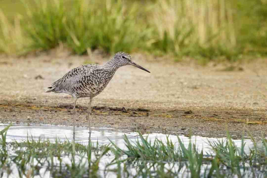 Print of a Willet Bird Standing in Water