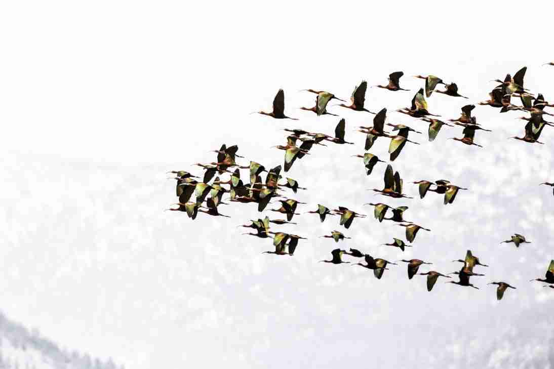Print of a Flock of White Faced Ibis Birds