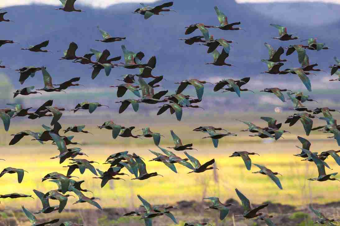 Print of White Faced Ibis Birds Flying