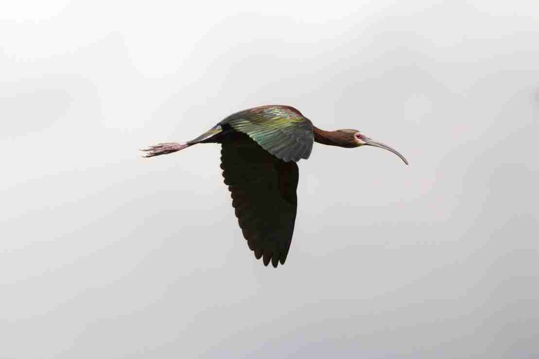 Print of a Single White Faced Ibis Bird