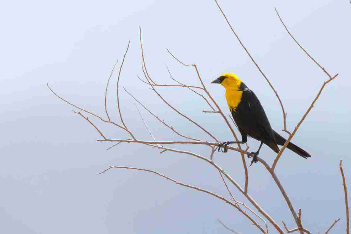 Print of a Yellow-Headed Blackbird
