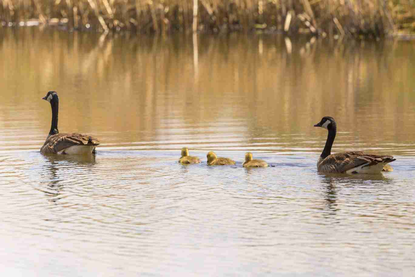 Print of Canadian Geese Parents and 3 Chicks