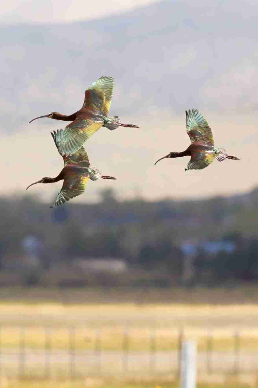 Print of Three White Faced Ibis in Flight