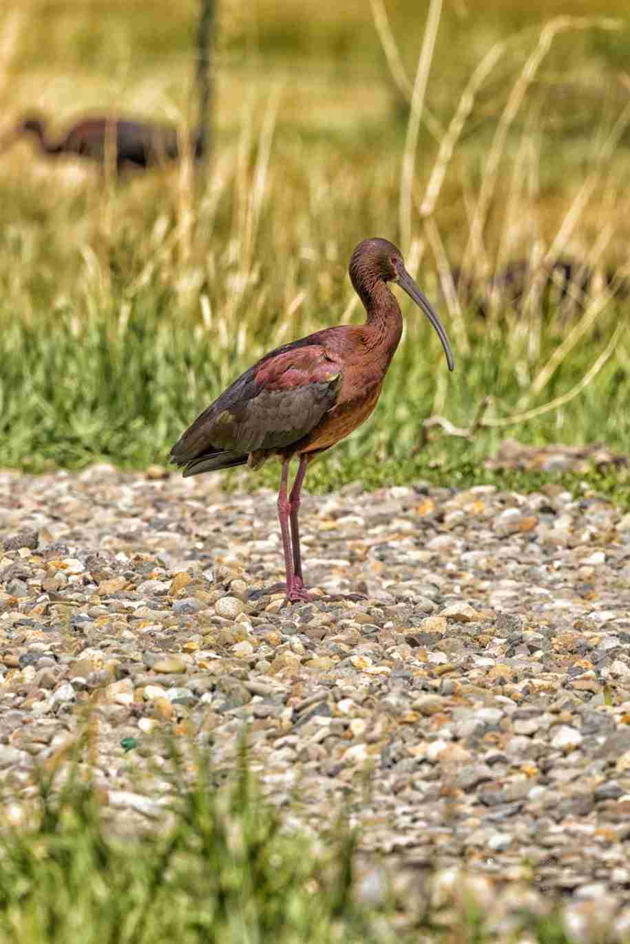 Print of White Faced Ibis on a Rock Road