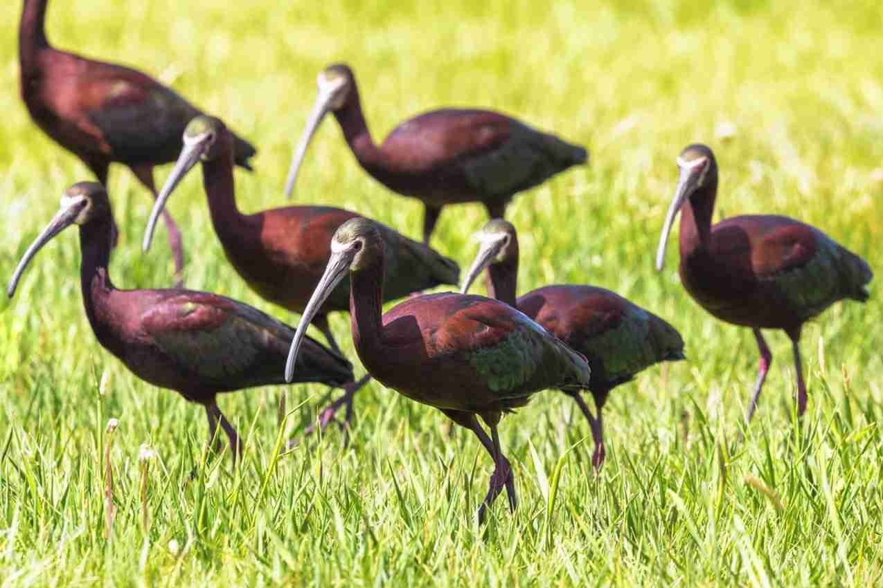 Print of a Gang of White Faced Ibis Birds