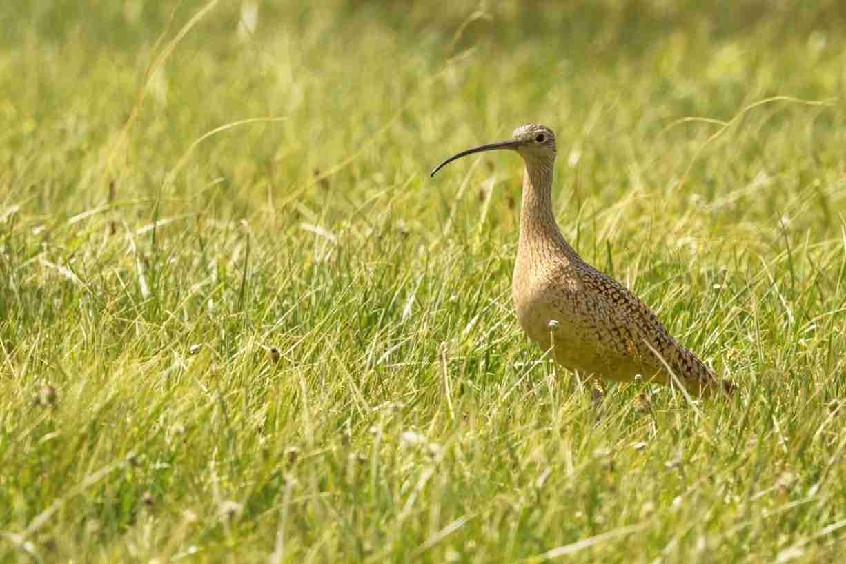 Print of a Long-Billed Curlew Bird in the Grass