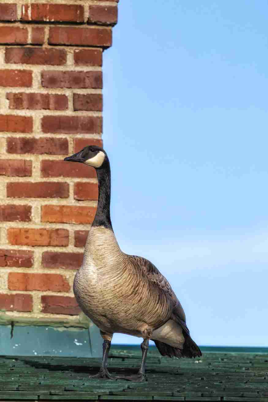 Print of a Canadian Goose Standing on a Green Roof