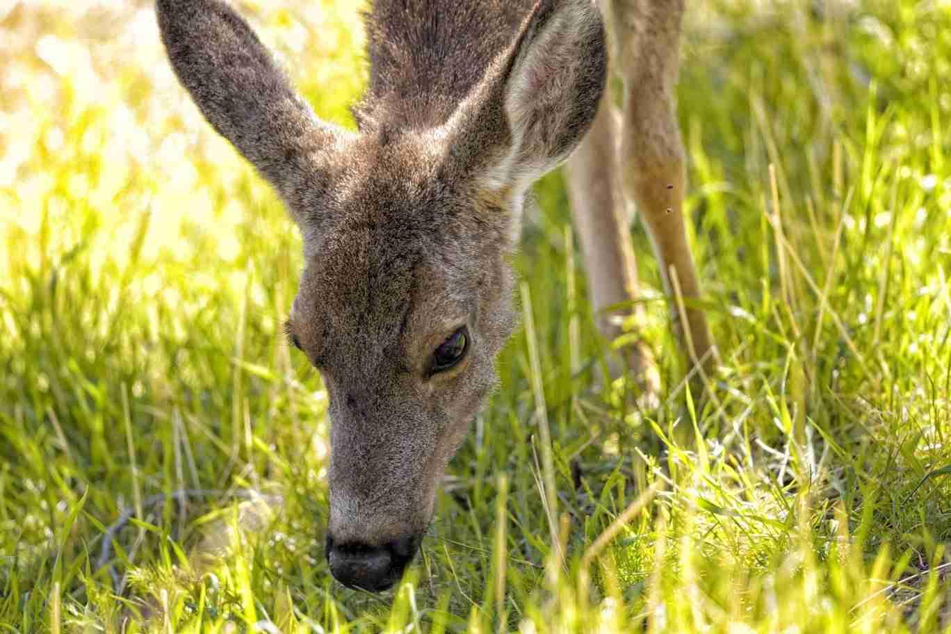 Print of Wild Deer Near Genoa Eating