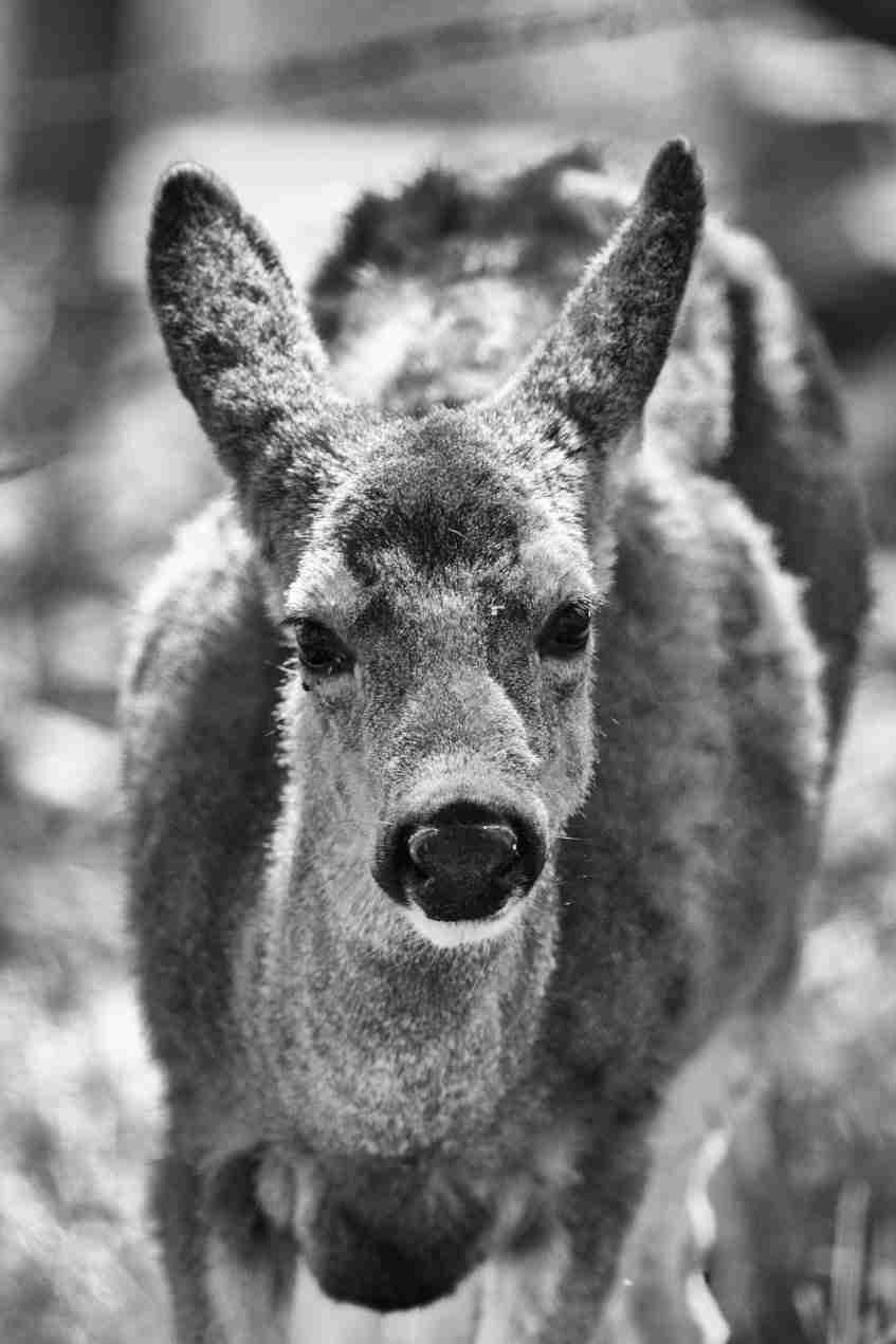 Black & White Print of a Wild Deer Looking Ahead