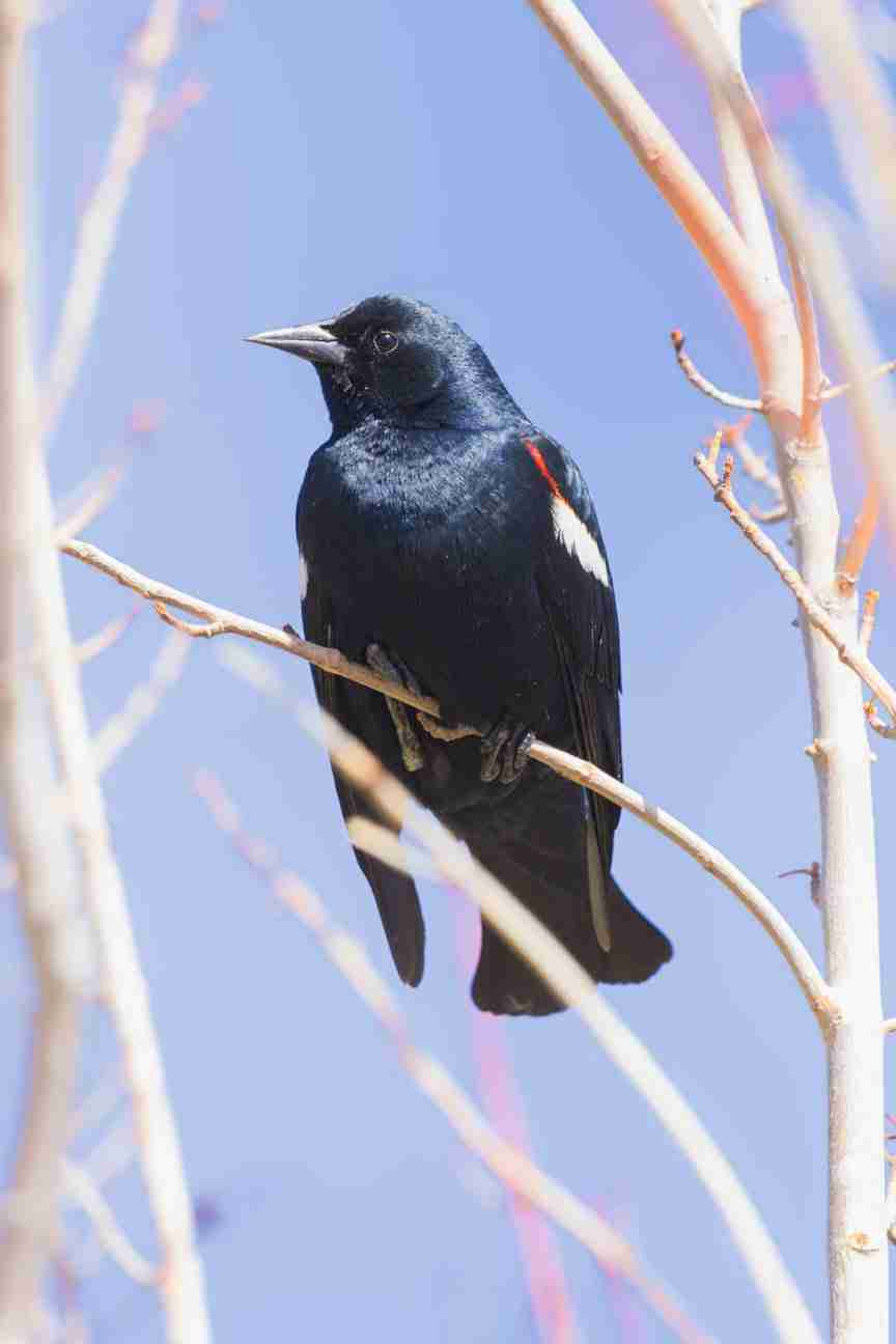 Print of a Red-Winged Blackbird Amongst the Branches